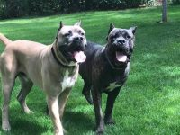 Cane Corso Puppies For Sale in Ohio - Cane Corso Breeders